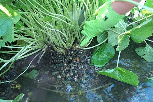 wasabi plant in water being checked